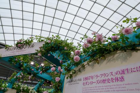 2017_roses_gardening_012