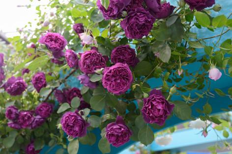 2017_roses_gardening_015