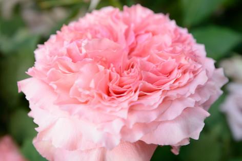 2017_roses_gardening_016