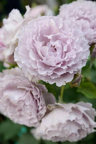 2017_roses_gardening_017