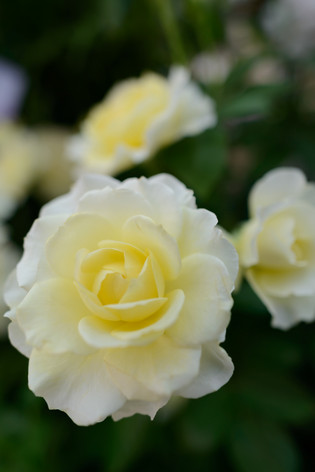 2017_roses_gardening_018