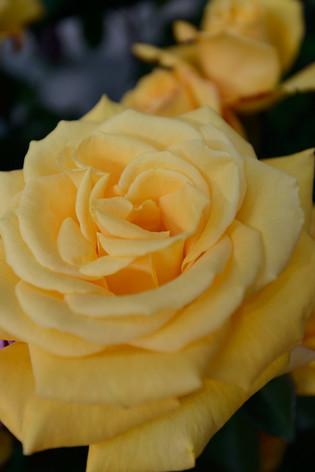 2017_roses_gardening_019