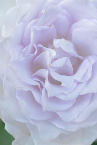 2017_roses_gardening_020