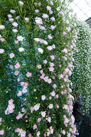 2017_roses_gardening_026