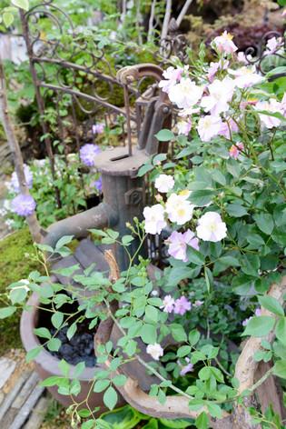 2017_roses_gardening_074