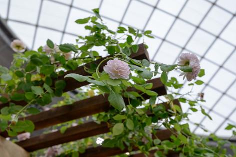 2017_roses_gardening_093