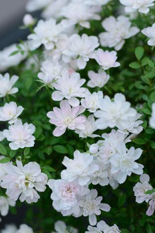2017_roses_gardening_129