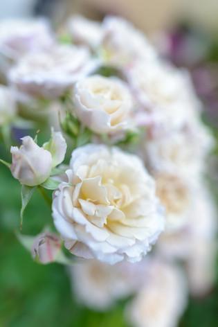 2017_roses_gardening_139
