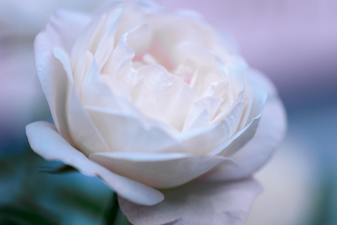 2017_roses_gardening_140