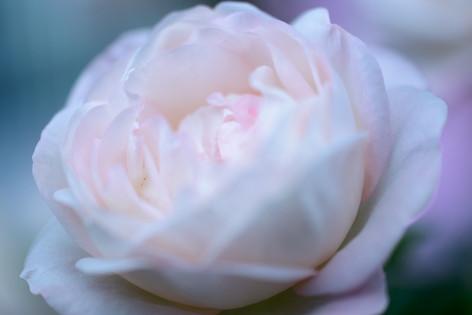 2017_roses_gardening_141