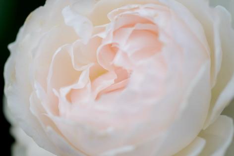 2017_roses_gardening_147