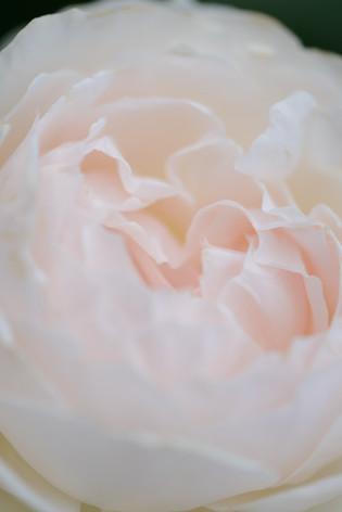2017_roses_gardening_148