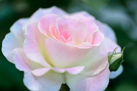 2017_roses_gardening_149