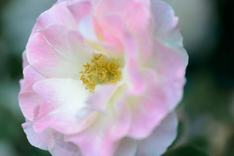2017_roses_gardening_150