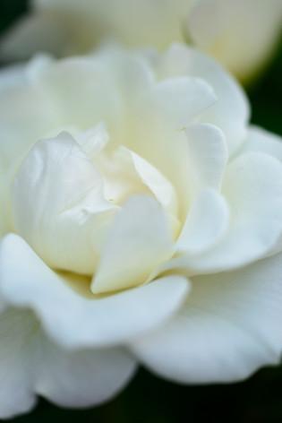2017_roses_gardening_154