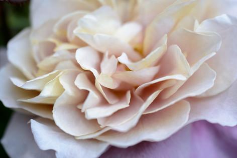 2017_roses_gardening_156