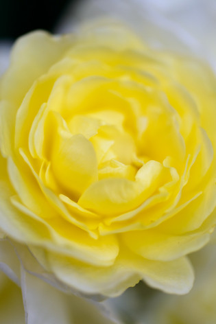 2017_roses_gardening_157