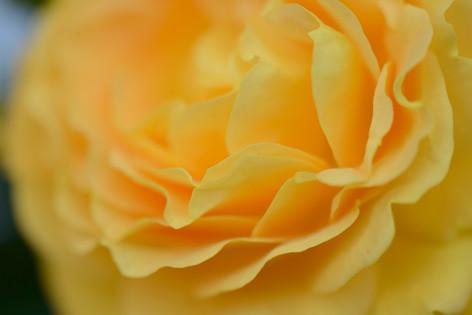 2017_roses_gardening_158