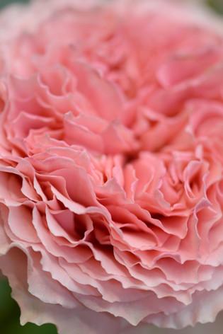 2017_roses_gardening_160