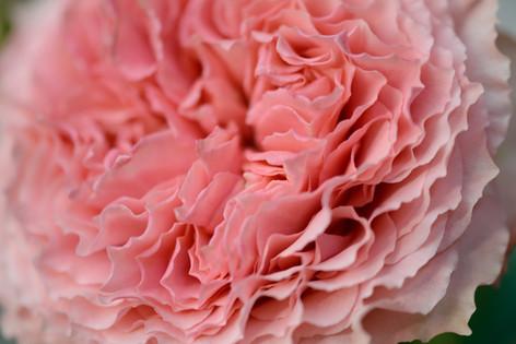 2017_roses_gardening_161