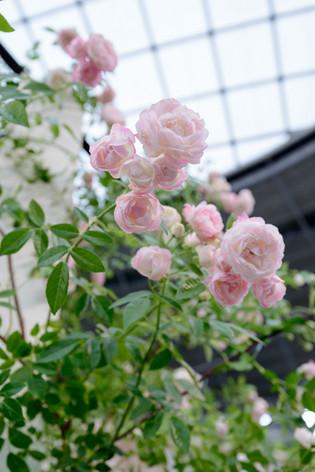 2017_roses_gardening_164