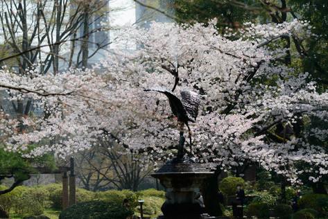 Sakura_flowering_2018_01