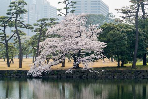 Sakura_flowering_2018_05