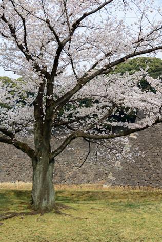 Sakura_flowering_2018_07