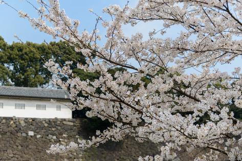 Sakura_flowering_2018_08