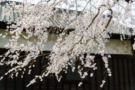Sakura_flowering_2018_10