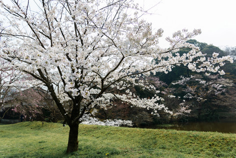 Sakura_flowering_2018_11