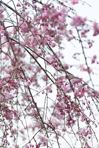 Sakura_flowering_2018_12
