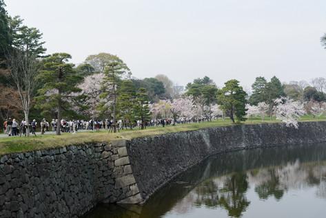 Sakura_flowering_2018_13