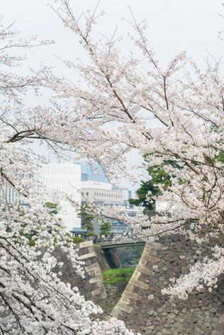 Sakura_flowering_2018_15