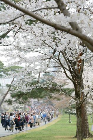 Sakura_flowering_2018_16
