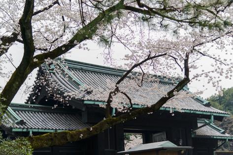 Sakura_flowering_2018_17