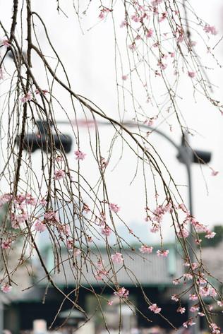 Sakura_flowering_2018_18