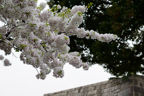 Sakura_flowering_2018_20