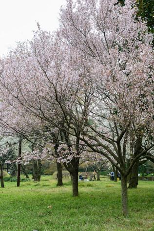 Sakura_flowering_2018_23
