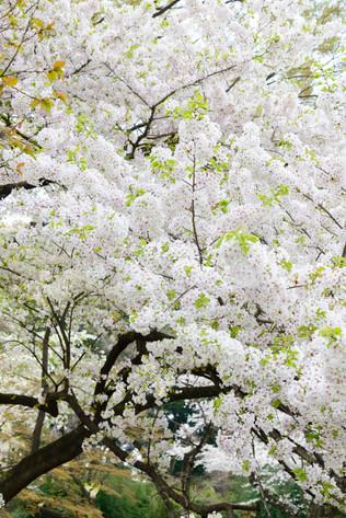 Sakura_flowering_2018_24