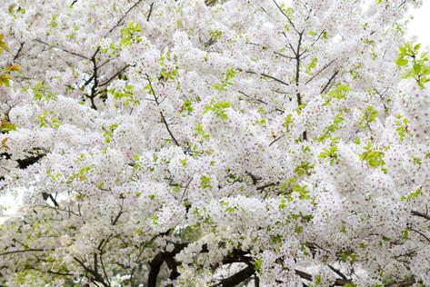Sakura_flowering_2018_25