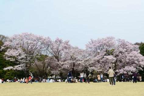 Sakura_flowering_2018_26
