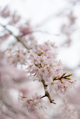 Sakura_flowering_2018_28