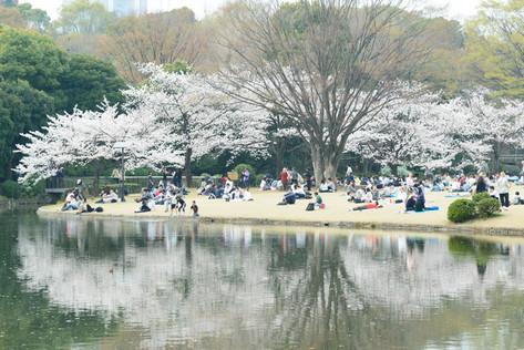 Sakura_flowering_2018_29