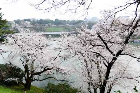 Sakura_flowering_2018_30