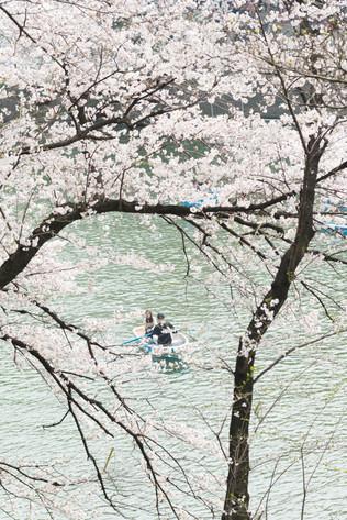 Sakura_flowering_2018_31