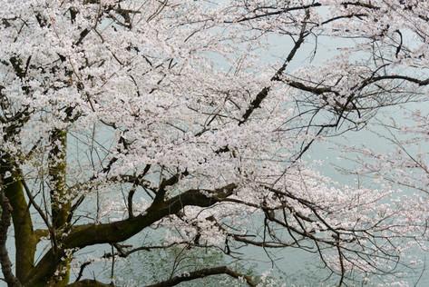 Sakura_flowering_2018_32