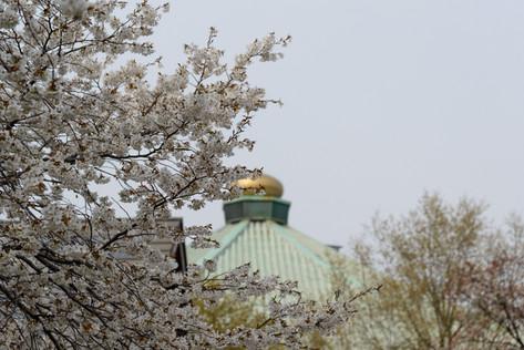 Sakura_flowering_2018_33