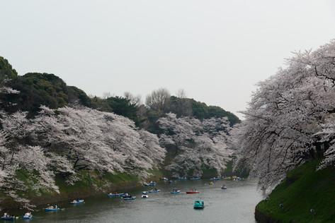 Sakura_flowering_2018_35