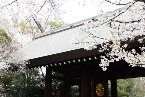 Sakura_flowering_2018_36